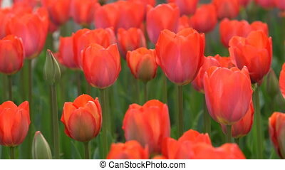 Red tulips swaying in the wind. Close-up