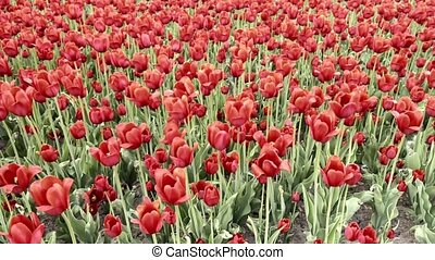 Red tulips swaying in the wind