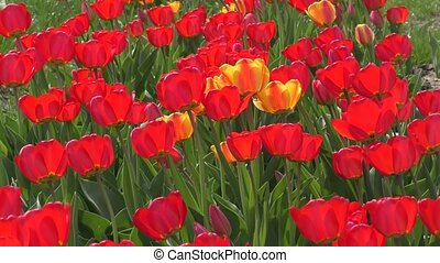 Red tulips swinging in the wind.