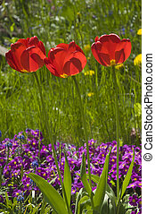 Red tulips (Tulipa) bloom in a vibrant spring flower bed against a backdrop of purple flowers and green grass