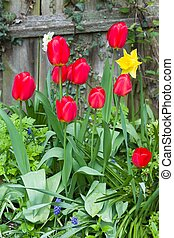 Red tulips (tulipa) in a garden, UK