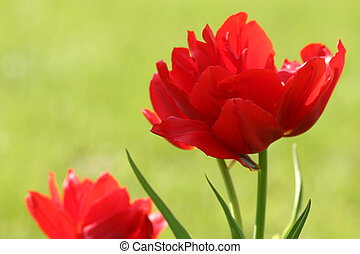 red tulips - two wonderful blossoms
