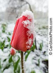 red tulips under spring snow, closeup
