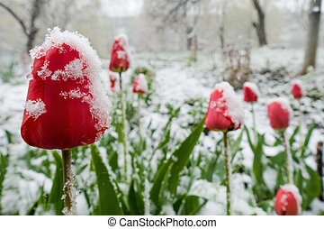 red tulips under spring snow