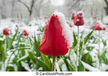 red tulips under spring snow on the garden