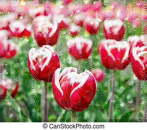 red tulips viewed in wet glass