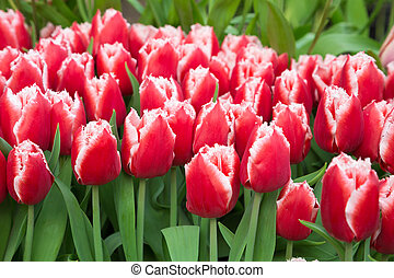 red tulips with water drops