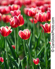 red tulips with white border - shallow depth of field