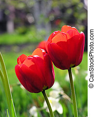 Red tulps