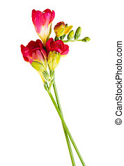 red twigs of freesias flowers isolated on white background...
