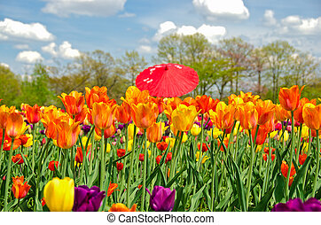 red umbrella in tulip field