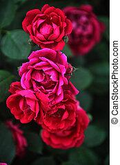 Red Valentine Roses