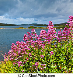 Red valerian flowers on the coast of Ardmore Bay, county...