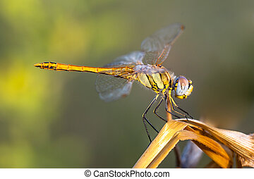 Red-veined Darter Dragonfly sitting on a plant