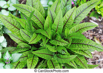 Red Veined French Sorrel Plant - Sorrel also called Spinach...