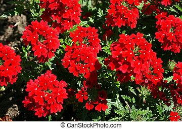 Red verbena flower
