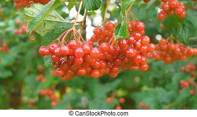 Red Viburnum berries grow on bushes HD