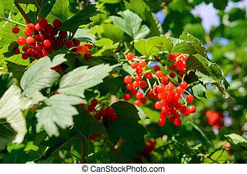 Red Viburnum berries in autumn