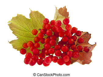 red viburnum berries isolated on white background