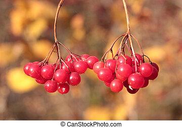 Red viburnum berries on branch in the garden