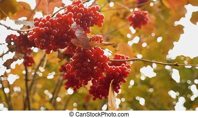 Red viburnum branch in garden. Berries and branches of red...