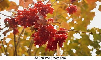 Red viburnum branch in the garden. Berries and branches of...