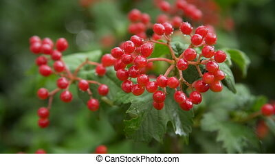 Red viburnum branch in the garden on a rainy day
