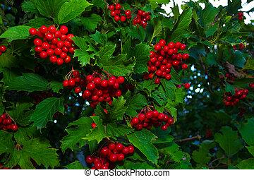 Red viburnum on a large green bush.
