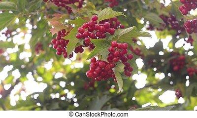 Red viburnum on the bush in the organic garden.