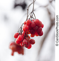 red viburnum on the tree in winter