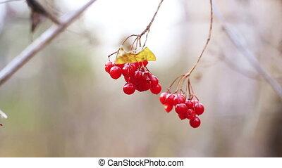 Red viburnum berries (guelder-rose)