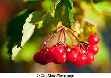 viburnum red ripe red berries on the branches of a tree with autumn leaves on the street in autumn
