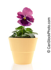 one red Pansy Violet plant in pot isolated over white