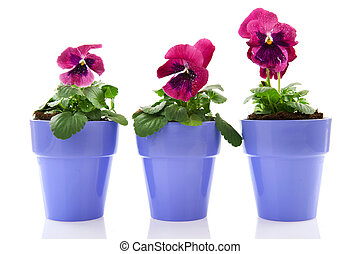 Three Pansy Violets in red isolated over white