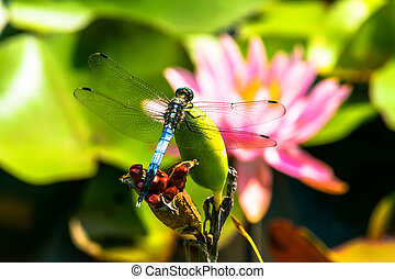 Red water lily flower and Orthetrum