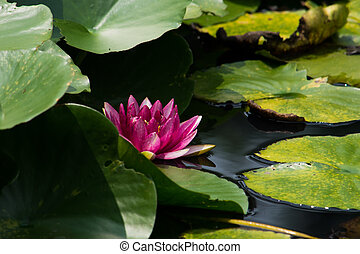 Red water lily flower