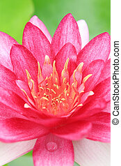 Red water-lily
