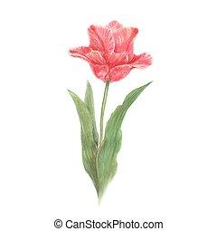 Red watercolor tulip flower