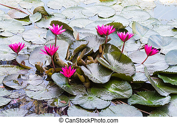 Red waterlily in the pond