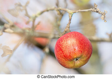 Red wet apple on a branch
