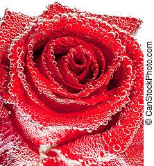 Red wet rose