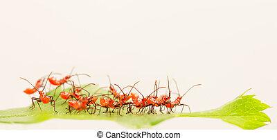 Red wheel bug nymphs
