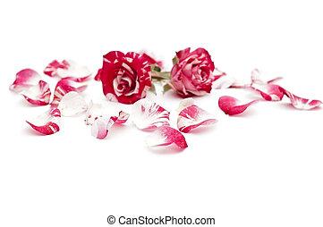 red-white, עלהי כותרת, ורדים, רקע, הפרד, שני, לבן
