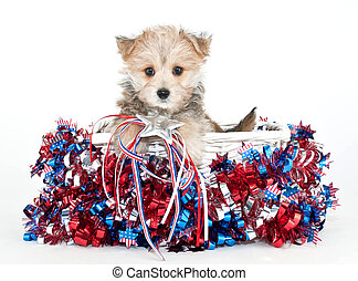 Red, White and Blue Puppy - Little Morkie puppy sitting in a...
