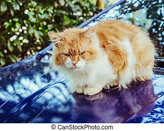Red white cat sits on the hood of a blue car