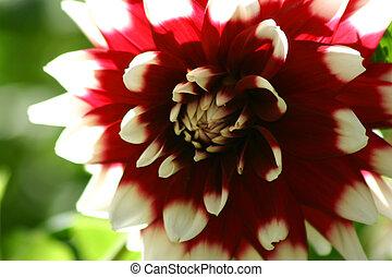 Red & white Dahlia