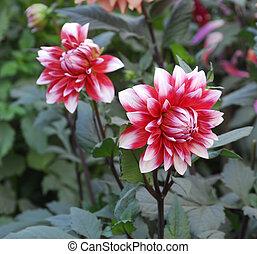Red white Dahlia Flower