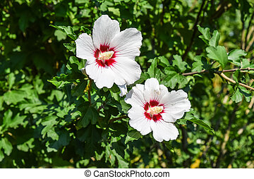 Red white flowers with five petals. Two flowers are not branches of a tree