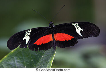 Red White Longwing Butterfly Close Up - Red White Longwing...
