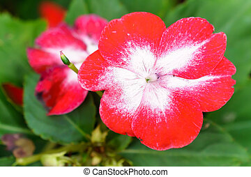 Red white primula flower in garden
